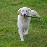 dog-golden-retriever-2819563_960_720.jpg